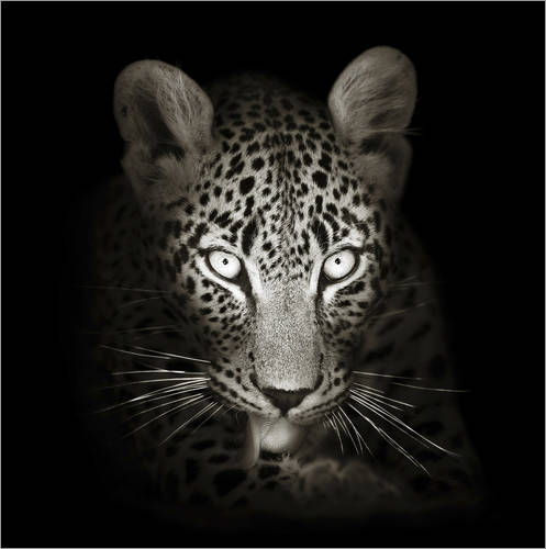 Vinilo para la pared Leopard portrait licking it's paw