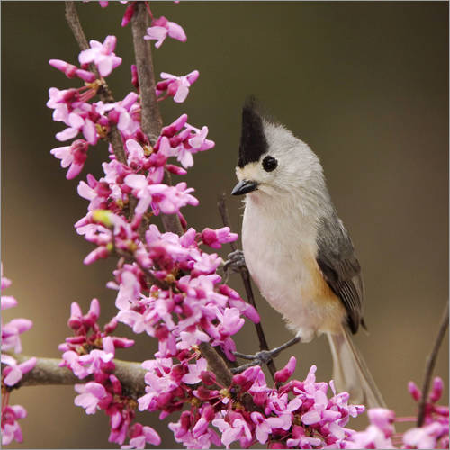 Vinilo para la pared Black-crested Titmouse, Baeolophus atricristatus, adult perched on branch of blooming Eastern redbud
