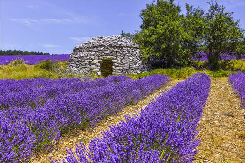 Póster Stone hut in the lavender field