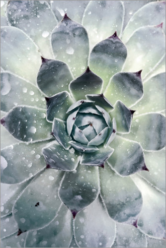 Póster Agave 02