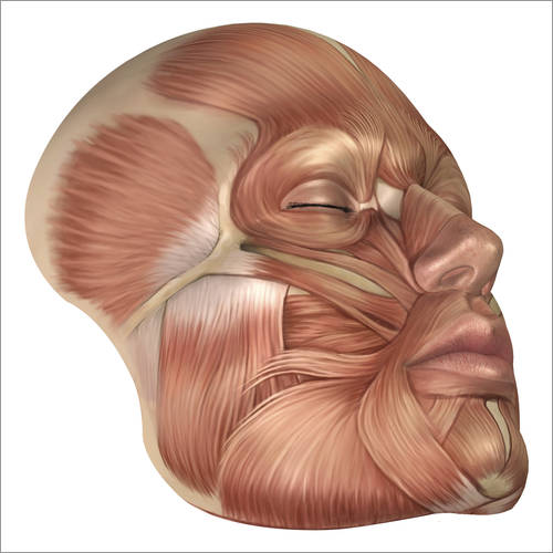 Vinilo para la pared Anatomy of human face muscles