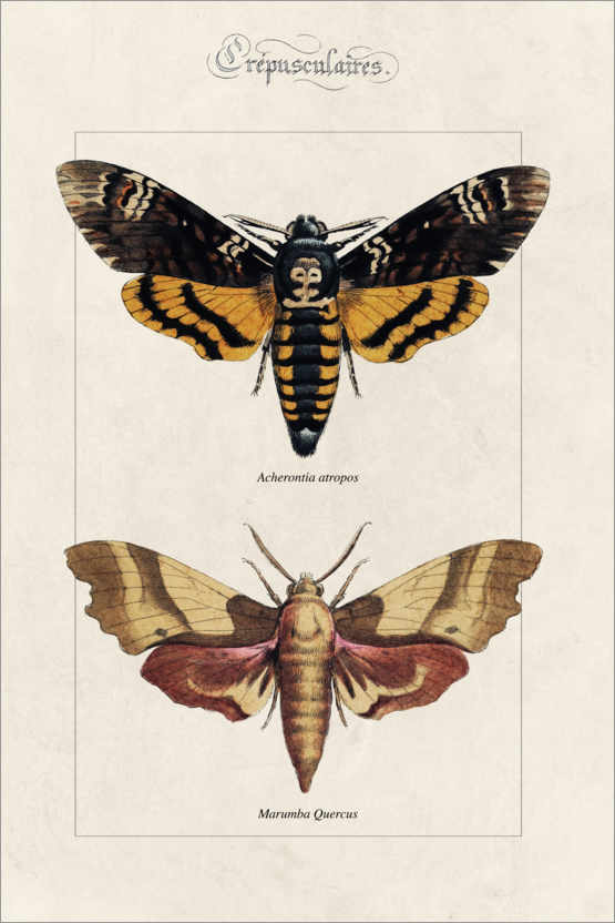 Póster Death's Head hawkmoth and oak hawkmoth.
