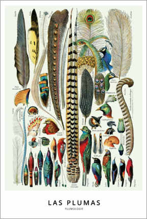 Lienzo  Las Plumas - Wunderkammer Collection
