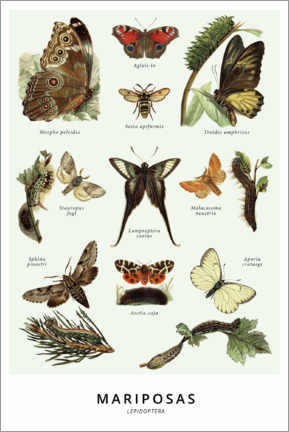 Póster  Especies de mariposas - Wunderkammer Collection