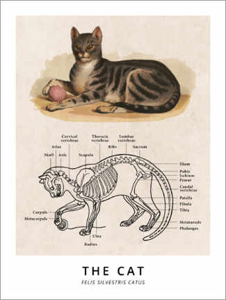 Póster  El gato, diagrama (vintage) - Wunderkammer Collection