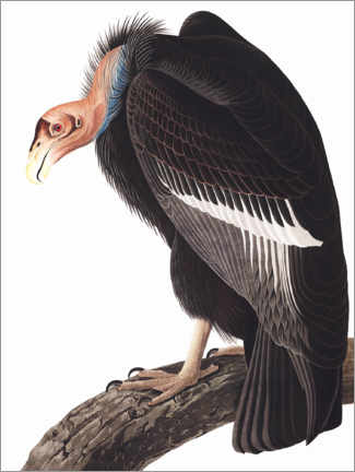Póster  Cóndor de California - John James Audubon