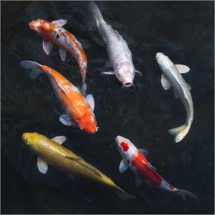 Lienzo  Carpa koi colorida - Jan Christopher Becke