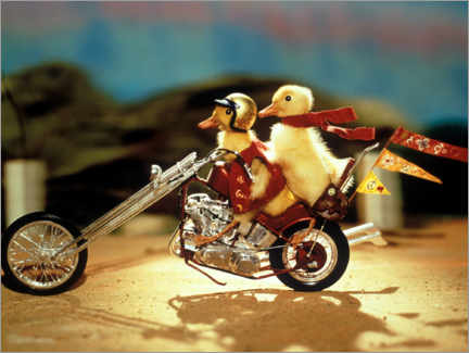 Póster Easy-rider ducklings