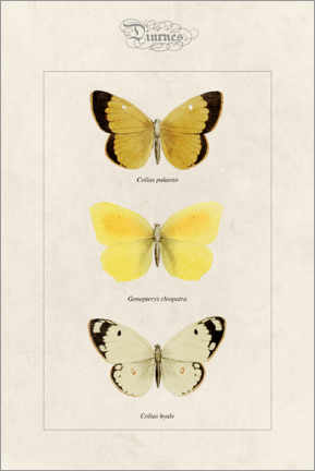 Póster  Moorland clouded yellow, cleopatra and pale clouded yellow - Alexis Nicolas Noel