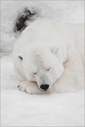 Lienzo  Relaxed polar bear settled down to sleep - Mikhail Semenov