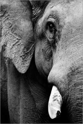 Póster Portrait of an Indian elephant