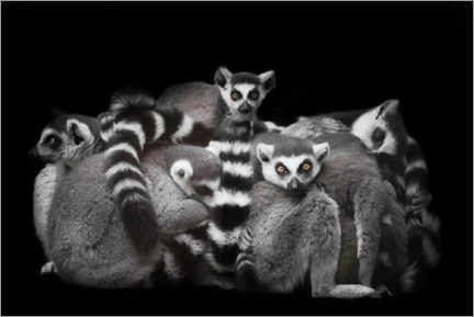 Póster Ring-tailed lemurs sleep in a bunch