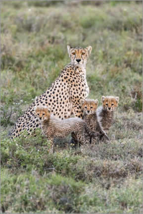 Póster  Cheetah mother with cubs - Jaynes Gallery