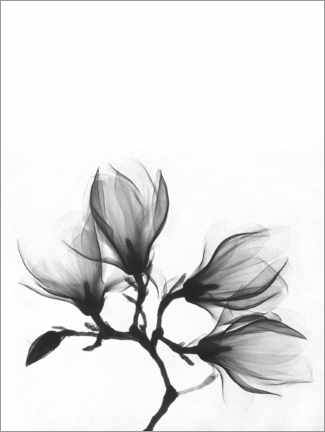 Póster  X-ray image of a magnolia - Wunderkammer Collection