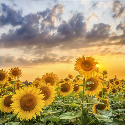 Póster Sunflowers in the evening