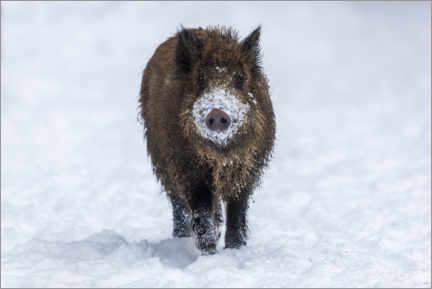 Póster  Young wild boar in winter - Dieter Meyrl