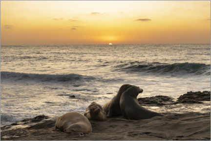 Póster  Sea lions on the Pacific with the setting sun - Sheila Haddad