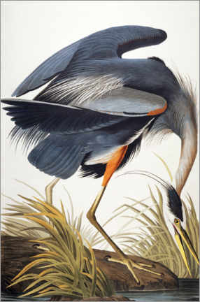 Lienzo  La garza real - John James Audubon