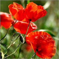 Cuadro de plexi-alu  Luminous poppy on meadow - Dirk Driesen