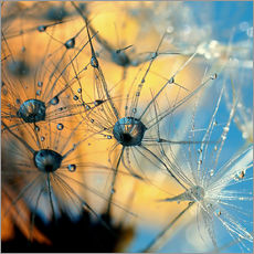 Vinilo para la pared  Dandelion with dew - Dirk Driesen