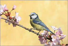 Cuadro de plexi-alu  Blue tit on a branch of cherry - Uwe Fuchs