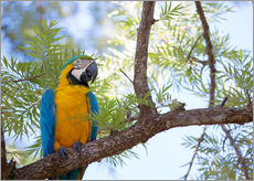 Cuadro de plexi-alu  Blue and yellow macaw - Alex Saberi