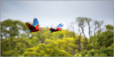 Cuadro de plexi-alu  Red-and-green-macaws flying home - Alex Saberi