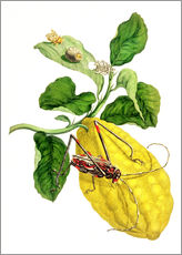 Vinilo para la pared  Citrus medica and longhorn beetles - Maria Sibylla Merian