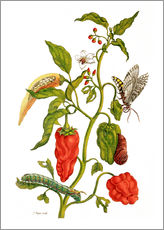 Cuadro de plexi-alu  Peppers and insects - Maria Sibylla Merian