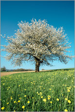 Vinilo para la pared  Blossoming cherry tree in spring on green field with blue sky - Peter Wey