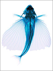 Vinilo para la pared  Flying fish, X-ray - D. Roberts