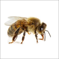 Cuadro de plexi-alu  Honey bee