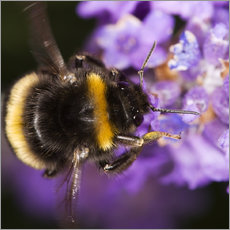 Vinilo para la pared  Bumble bee collecting pollen - Power and Syred