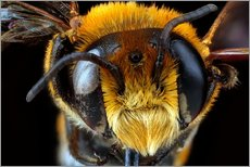 Cuadro de plexi-alu  Male bee head