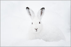 Cuadro de plexi-alu  Mountain hare in winter - Peter Wey