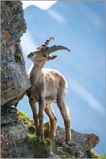 Vinilo para la pared  Young alpine ibex - Peter Wey