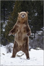 Cuadro de plexi-alu  Grizzly Bear standing in the snow - James Hager