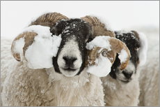 Vinilo para la pared  Northumberland blackface sheep in snow, Tarset, Hexham, Northumberland, UK - Ann & Steve Toon