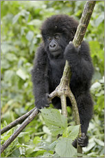 Cuadro de plexi-alu  Infant mountain gorilla (Gorilla gorilla beringei) from the Kwitonda group climbing a vine, Volcanoe - James Hager