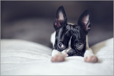 Vinilo para la pared Boston Terrier Puppy