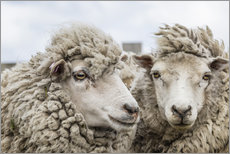 Cuadro de plexi-alu  Sheep waiting to be shorn, Falkland Islands - Michael Nolan