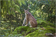 Cuadro de plexi-alu  Lynx in the Bavarian National Park - Roberto Moiola
