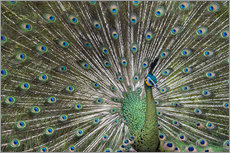 Vinilo para la pared  Java green peafowl (Pavo muticus) - Gabrielle & Michel Therin-Weise