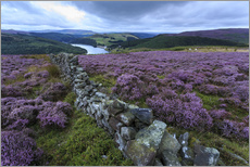 Vinilo para la pared  Heather covered Bamford Moor and dry stone wall - Eleanor Scriven