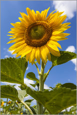 Vinilo para la pared sunflower