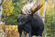 Vinilo para la pared  Moose in the Gaspesie National Park - Philippe Henry