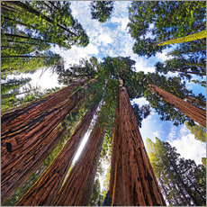 Vinilo para la pared  giant Sequoia - Michael Rucker