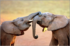 Vinilo para la pared  Two elephants interact gently with trunks - Johan Swanepoel