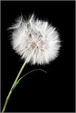 Vinilo para la pared  the big white dandelion