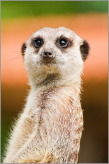 Vinilo para la pared  Attentive meerkat - Edith Albuschat